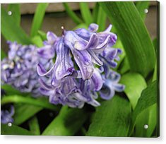 Hyacinth Flowers Acrylic Print by Richard Mitchell