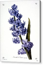 Hyacinth Acrylic Print by Granger