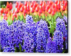 Hyacinth In Bloom Acrylic Print by Tamyra Ayles