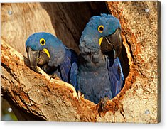 Hyacinth Macaw Pair In Nest Acrylic Print by Aivar Mikko