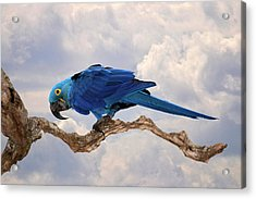 Acrylic Print featuring the photograph Hyacinth Macaw by Wade Aiken