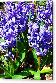 Hyacinths Acrylic Print by Anna Villarreal Garbis