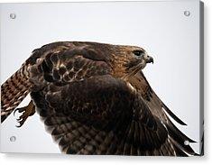 Hybrid Hawk Flyby  Acrylic Print