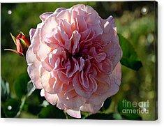 Hybrid Tea Rose Acrylic Print