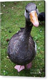 Hyde Park Goose Acrylic Print