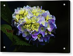 Hydrangea 3705 H_2 Acrylic Print