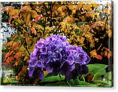 Hydrangea Autumn  Acrylic Print by Mick Anderson