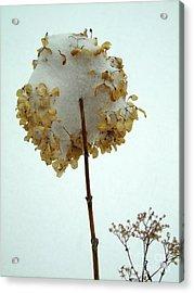 Hydrangea Blossom In Snow Acrylic Print