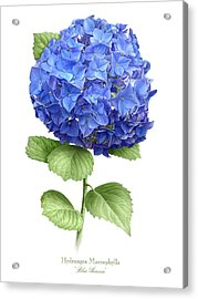 Hydrangea Blue Heaven Acrylic Print by Artellus Artworks