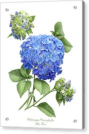 Hydrangea Blue Wave Acrylic Print by Artellus Artworks