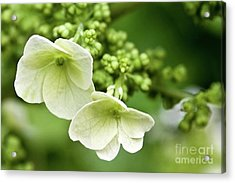 Hydrangea Buds Visit Www.angeliniphoto.com For More Acrylic Print by Mary Angelini