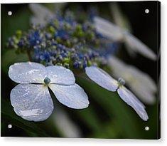Hydrangea Macrophylla Acrylic Print by Juergen Roth