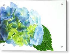Hydrangea Magic Acrylic Print