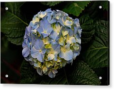 Acrylic Print featuring the photograph Hydrangea by Marilynne Bull