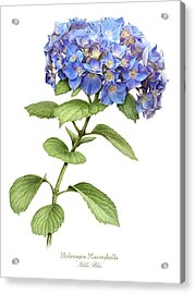 Hydrangea Nikko Blue Acrylic Print by Artellus Artworks