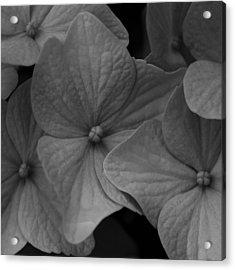 Hydrangea  No 2  2009 Acrylic Print by Joseph Duba