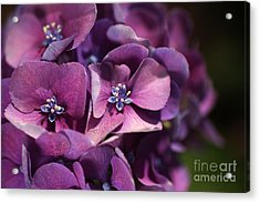 Hydrangea Passion  Acrylic Print