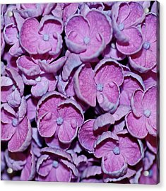 Hydrangea Petals Acrylic Print