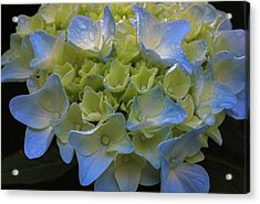 Acrylic Print featuring the photograph Hydrangeas Flowers by Juergen Roth