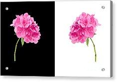 Hydrangeas On Black And White Acrylic Print
