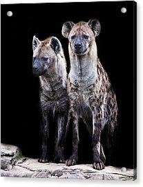 Hyena Lookout Acrylic Print