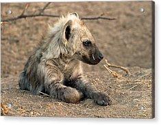 Acrylic Print featuring the photograph Hyena by Riana Van Staden
