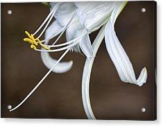 Hymenocallis Narcissiflora Acrylic Print