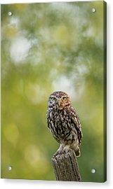 I C U - Little Owl Watching The Photographer Acrylic Print by Roeselien Raimond