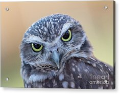 Acrylic Print featuring the photograph I Give A Hoot by Chris Scroggins