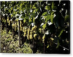 I Heard It Through The Grapevine Acrylic Print by Cabral Stock