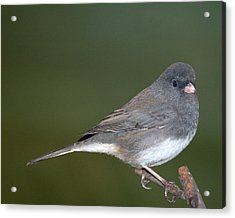 I Junco Acrylic Print by Richard Oliver