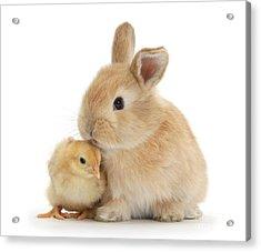 I Love To Kiss The Chicks Acrylic Print