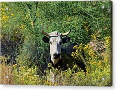I Picked These For Moo Acrylic Print