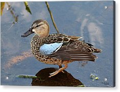 I Really Am A Green Winged Teal Acrylic Print