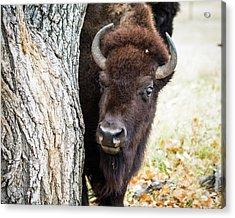 American Bison Peeks Around Tree Acrylic Print