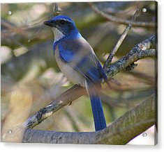 I Think I Found The Blue Bird Of Happiness Acrylic Print by Kerry Reed