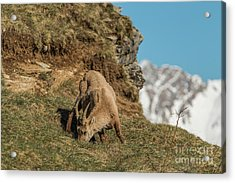 Ibex On The Mountains Acrylic Print