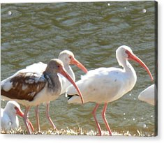 Ibis Flock With Spotted Juvenile Acrylic Print
