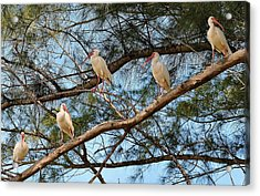 Ibis I May, Ibis I Might... Acrylic Print