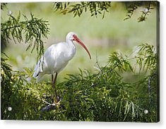 Ibis In Cypress Acrylic Print