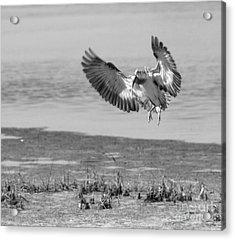 Ibis In Flight 2 Acrylic Print by Debbie May