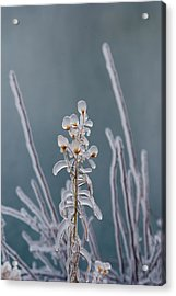 Ice-coated Plants.  Mist From Shoshone Acrylic Print by Darlyne A. Murawski