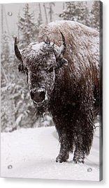 Ice Cold Winter Buffalo Acrylic Print