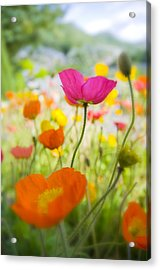 Iceland Poppies Acrylic Print by Silke Magino