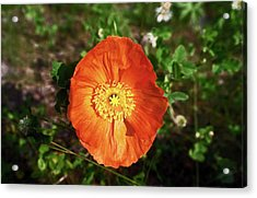 Acrylic Print featuring the photograph Iceland Poppy by Sally Weigand
