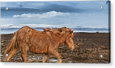 Icelandic Horse With Winter Fur, Iceland Acrylic Print by Panoramic Images