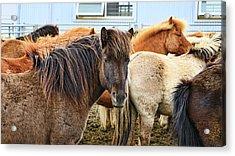 Icelandic Horses # 1 Acrylic Print by Allen Beatty