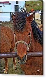 Icelandic Horses # 2 Acrylic Print by Allen Beatty