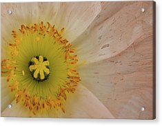 Acrylic Print featuring the photograph Icelandic Poppy by Roger Mullenhour