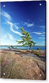 Iconic Windswept Pine Acrylic Print
